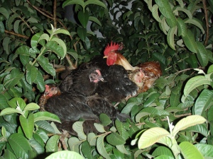 Before we finished the coop, our gang of 6 roosted in the guava tree. All on one branch!