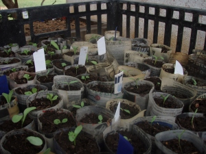 15. Repeat the previous steps until all your baby seedlings are transplanted into paper cups. Remember to label them!
